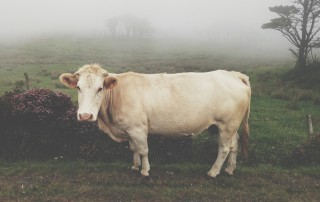 Lonesome Cow